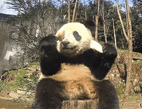 gifa panda eats and fall