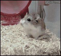 gifa hamster dans sa roue