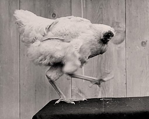 Mike poulet sans tête