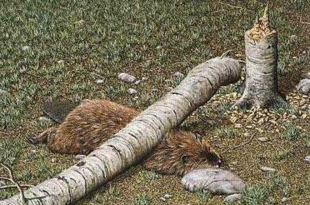 Sauve un arbre : mange un castor