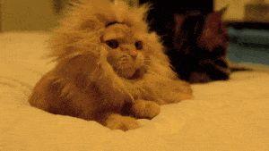 gifa - cat - miaou groar